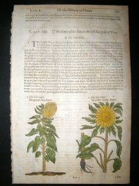 Gerards Herbal 1633 Hand Col Botanical Print. Greater & Lesser Sun Flower